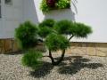 Oblikovanje dreves - bor